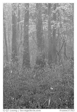 Bamboo and floodplain trees in fall color. Congaree National Park (black and white)