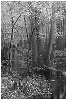Trees with fall color in slough. Congaree National Park ( black and white)