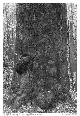 Base of giant loblolly pine tree. Congaree National Park (black and white)