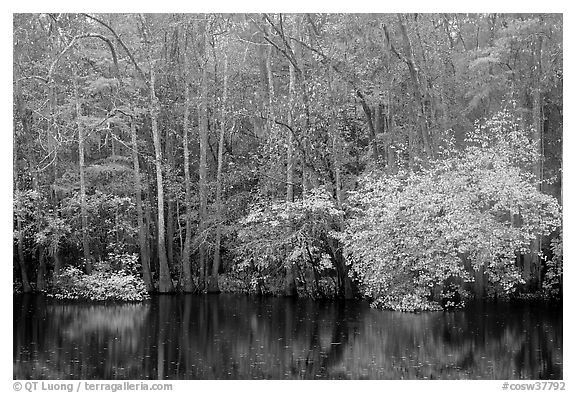 Cypress trees and autumn colors, Weston Lake. Congaree National Park (black and white)