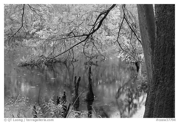 Bald cypress and branch with needles in fall color at edge of Weston Lake. Congaree National Park (black and white)