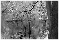 Bald cypress and branch with needles in fall color at edge of Weston Lake. Congaree National Park ( black and white)