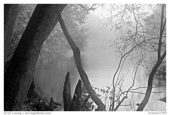Weston Lake and fog. Congaree National Park (black and white)