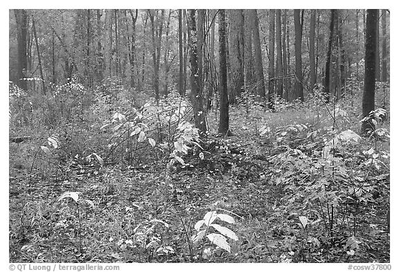 Undergrowth in pine forest. Congaree National Park (black and white)