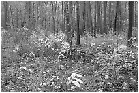 Undergrowth in pine forest. Congaree National Park ( black and white)