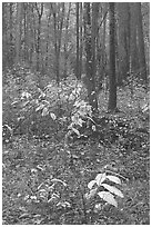 Fall colors on undergrowth in pine forest. Congaree National Park, South Carolina, USA. (black and white)