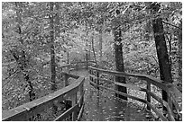 Boardwalk, forest in autumn colors. Congaree National Park ( black and white)
