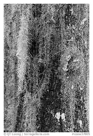 Close-up of spanish moss on trunk. Congaree National Park (black and white)