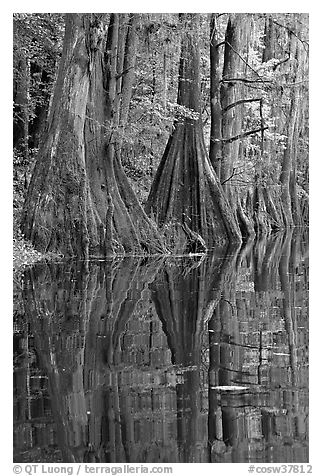 Cypress buttresses reflected in Cedar Creek. Congaree National Park (black and white)
