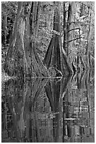 Cypress buttresses reflected in Cedar Creek. Congaree National Park, South Carolina, USA. (black and white)