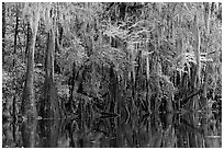Spanish moss hanging from cypress at the edge of Cedar Creek. Congaree National Park ( black and white)