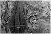 Large buttressed base of bald cypress and fall colors reflections in Cedar Creek. Congaree National Park, South Carolina, USA. (black and white)
