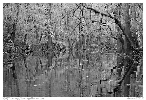 Cedar Creek with trees in autumn colors reflected. Congaree National Park (black and white)
