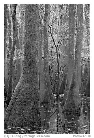 Young tree growing in swamp amongst old growth cypress and tupelo. Congaree National Park (black and white)