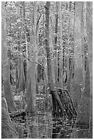 Walking tree in swamp. Congaree National Park ( black and white)