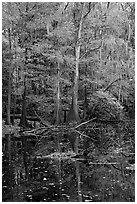Bald cypress in fall colors and dark waters. Congaree National Park, South Carolina, USA. (black and white)