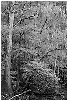Spanish moss and cypress needs in fall colors. Congaree National Park, South Carolina, USA. (black and white)