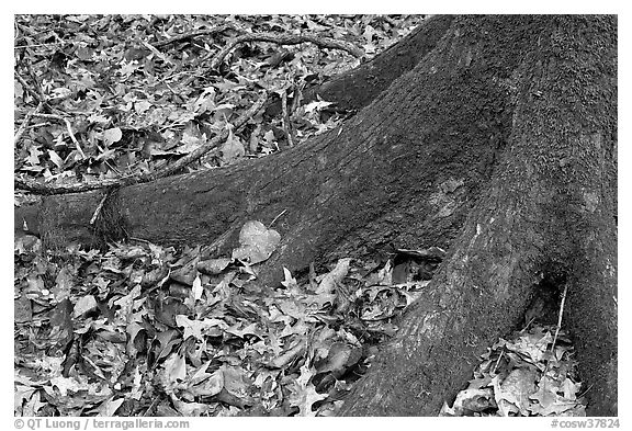 Roots of tupelo and fallen leaves. Congaree National Park (black and white)