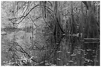 Arched branches with spanish moss above Cedar Creek. Congaree National Park, South Carolina, USA. (black and white)