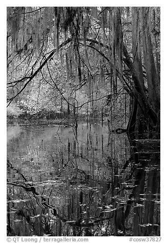 Branches with spanish moss reflected in Cedar Creek. Congaree National Park (black and white)