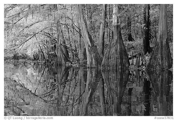 Cypress trees with branch in fall color reflected in dark waters of Cedar Creek. Congaree National Park (black and white)
