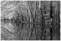 Cypress trees with branch in fall color reflected in dark waters of Cedar Creek. Congaree National Park, South Carolina, USA. (black and white)