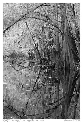 Arched branches and cypress reflected in Cedar Creek. Congaree National Park (black and white)