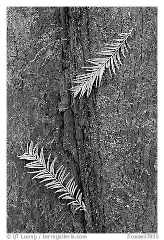 Close-up of fallen cypress needles on trunk. Congaree National Park (black and white)
