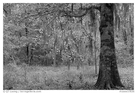 Tree with leaves in autum colors. Congaree National Park (black and white)