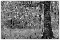 Tree with leaves in autum colors. Congaree National Park, South Carolina, USA. (black and white)