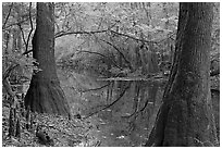 Trees and cypress knees on the shore of Cedar Creek. Congaree National Park ( black and white)