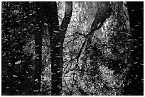 Reflections and falling leaves in creek. Congaree National Park ( black and white)