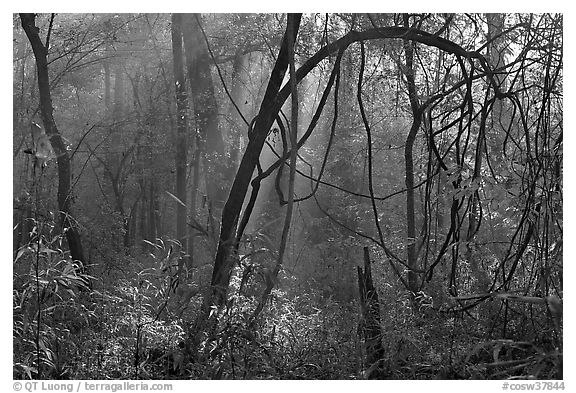 Sunrays and vines. Congaree National Park (black and white)