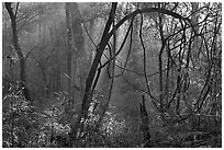 Sunrays and vines. Congaree National Park ( black and white)