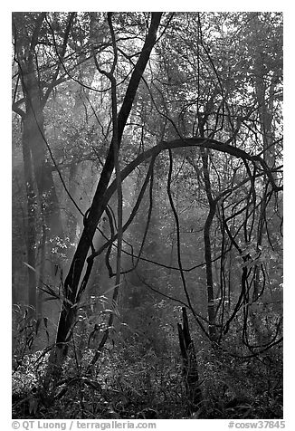 Trees with vines. Congaree National Park (black and white)