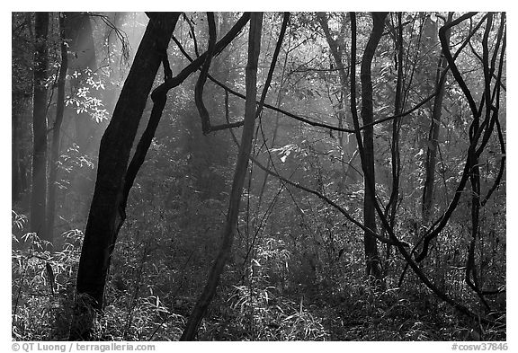Vines and sunlit mist. Congaree National Park (black and white)