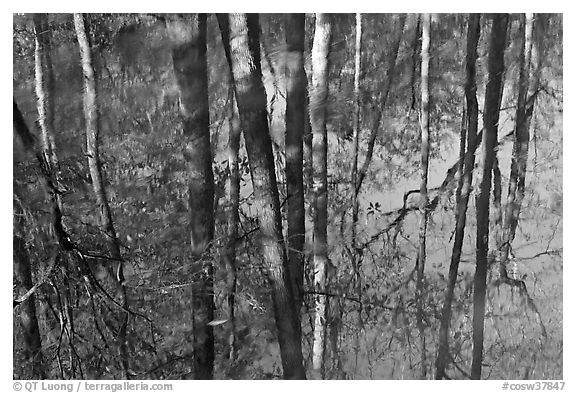 Cypress trees reflected in swamp. Congaree National Park (black and white)