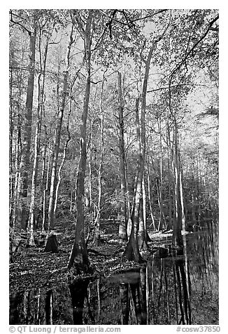 Tall trees and creek. Congaree National Park (black and white)
