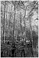 Tall trees and creek. Congaree National Park ( black and white)