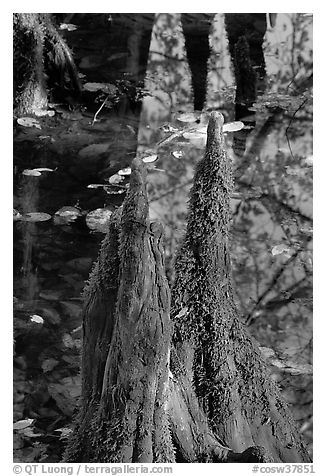 Cypress knees and creek. Congaree National Park (black and white)