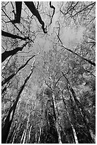 Looking upwards Floodplain forest. Congaree National Park ( black and white)