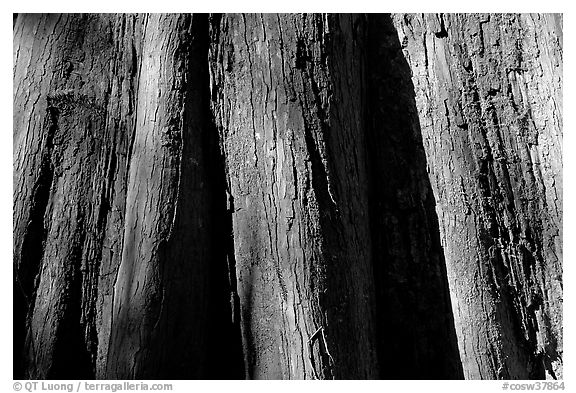 Close-up of buttressed base of bald cypress. Congaree National Park (black and white)