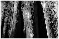 Close-up of buttressed base of bald cypress. Congaree National Park, South Carolina, USA. (black and white)