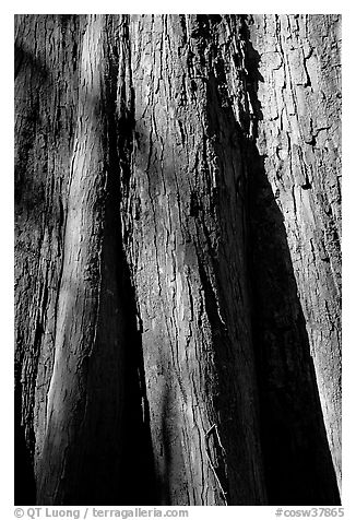 Close-up of base of bald cypress tree. Congaree National Park (black and white)