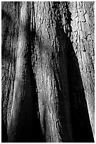 Close-up of base of bald cypress tree. Congaree National Park, South Carolina, USA. (black and white)