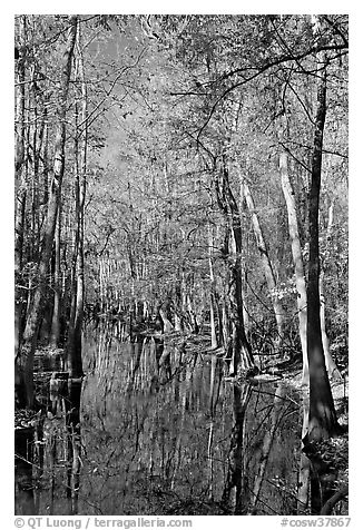 Tall trees around creek. Congaree National Park (black and white)