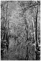Tall trees around creek. Congaree National Park ( black and white)