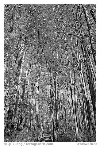 Boardwalk with woman dwarfed by tall trees. Congaree National Park (black and white)