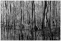Floodplain trees growing out of swamp on a sunny day. Congaree National Park, South Carolina, USA. (black and white)
