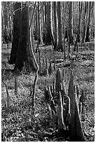 Floor of floodplain forest with cypress knees. Congaree National Park, South Carolina, USA. (black and white)